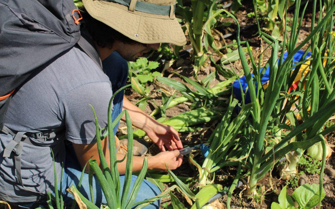 Proyecto CONICYT I+D investiga lixiviación de nitratos con asociación de cultivos diversificados