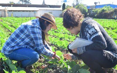 Estrategia ecológica para control de chinche pintado avanza con promisorios resultados de rendimiento en cultivos de repollo