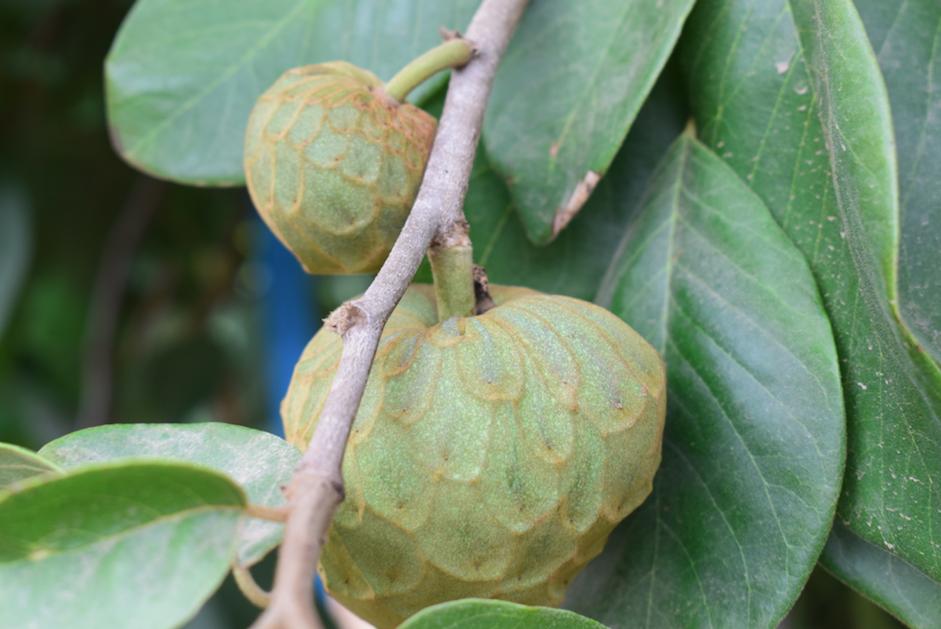 Al rescate del chirimoyo: investigación y tecnología local busca mantener su cultivo